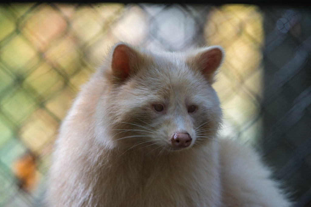 White Racoon